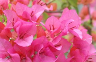 bougainvillea_tan01